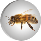 مقالات زنبور عسل