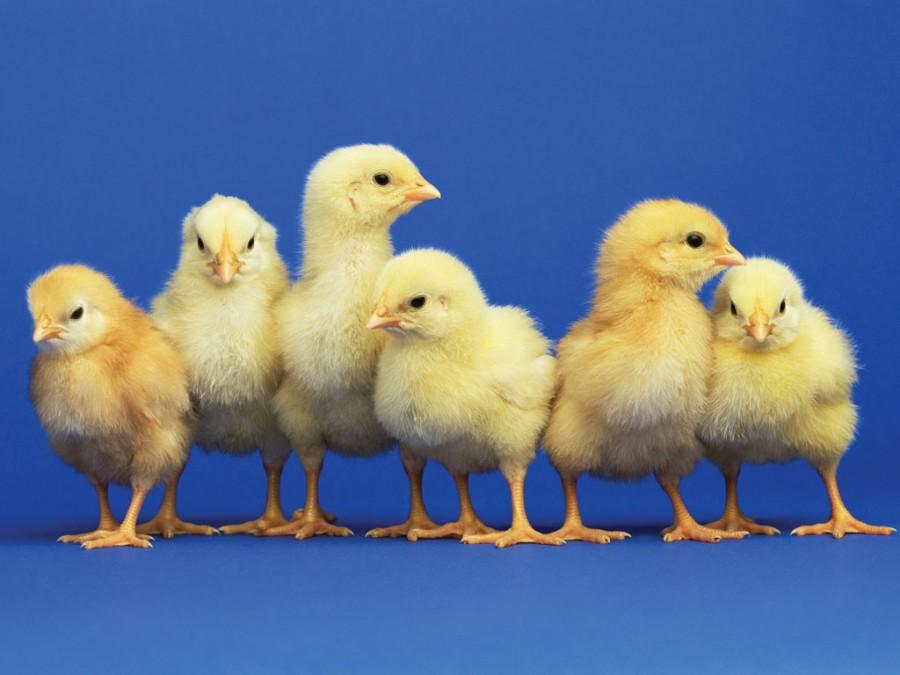 اثر کوآنزیم کیو تِن (Q10) در کاهش مرگ و میر ناشی از آسیت در نیمچههای گوشتی