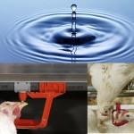آب تازه، نیاز اساسی و ضروری در پرورش طیور