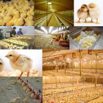 ۱۲ توصیه کاربردی برای مرغداریهای گوشتی در هفته اول